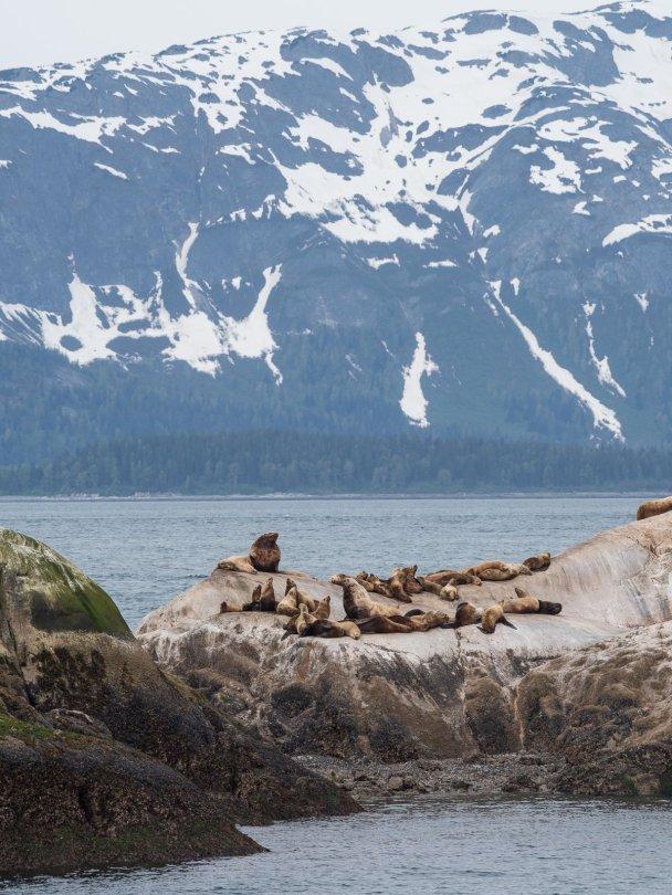 Stellars Sea Lions, Marble Island