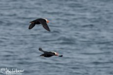 Tufted Puffin, Glacier Bay National Park
