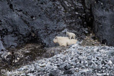 Gloomy Knob, Mountain Goat, Glacier Bay