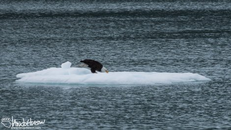 An eagle takes advantage of a floating platform of ice.