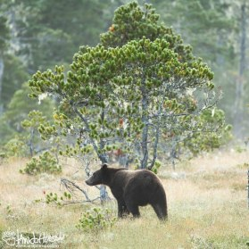 Coastal Brown Bear, Hoonah, Alaska