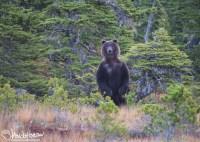 Coastal Brown Bear, Hoonah, Alaska