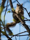 Red Squirrel, Hoonah, Alaska