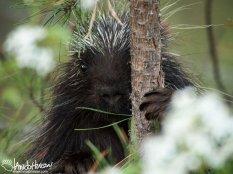 Porcupine, Maine