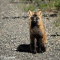 Red Fox (Cross Fox), Fort Yukon, Alaska