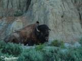 Bison, Theodore Roosevelt National Park, North Dakota