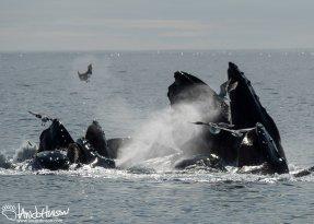 Humpback Whale, Seward, Alaska