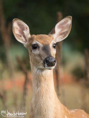 White-tailed Deer, Perham, Minnesota