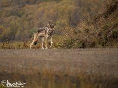 Gray Wolf, Denali National Park, Alaska