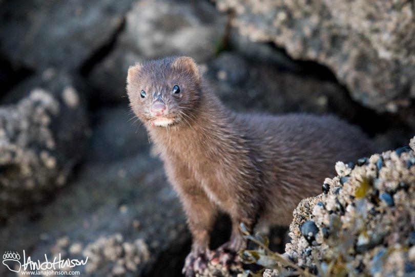 Mink, Hoonah, Alaska, Southeast