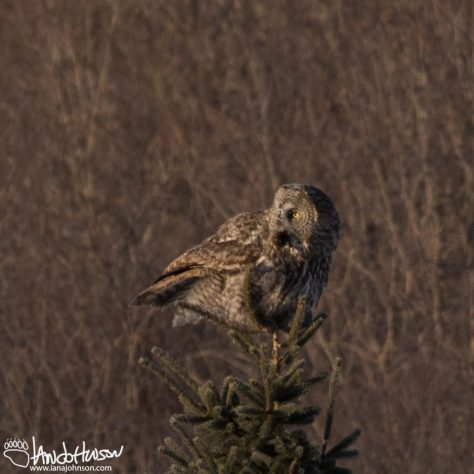 Great Gray Owl, Sax Zim Bog, Minnesota
