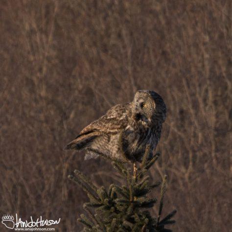 Great Gray Owl, Sax Zim Bog, Minnesota