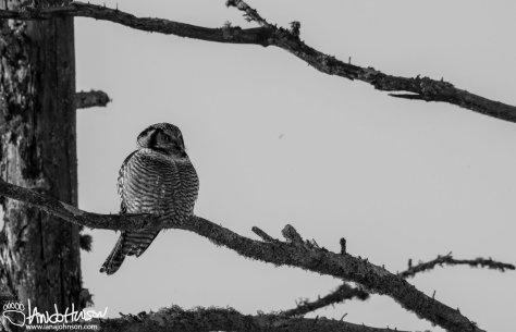 Northern Hawk Owl, Minnesota, Sax Zim Bog