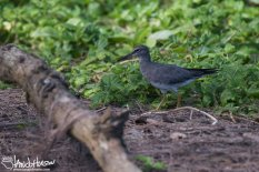 Wandering Tattler, Hawaii