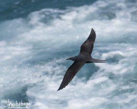 Hawaiin Noddy, Birding Hawaii