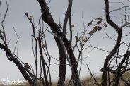 African Silverbills