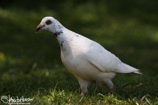 White Pigeon, Birding Hawaii