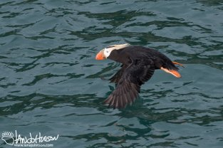Tufted Puffin, Glacier Bay National Park, Southeast Alaska, Alaska