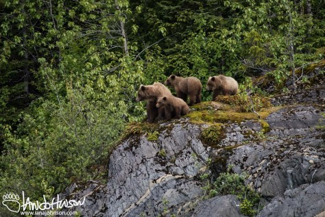 Brown Bear, Glacier Bay National Park, Southeast Alaska, Alaska