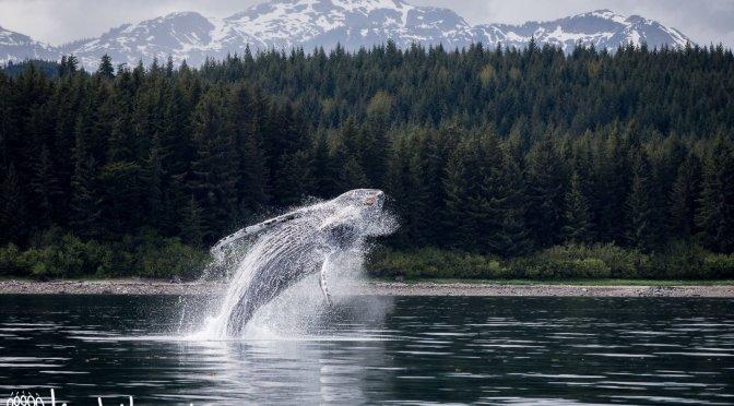 Humpback Whale, Alaska, Breaching, Jumping, Southeast Alaska, Hoonah, Whale Watching, Wooshketan Tours