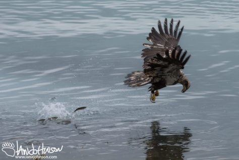 Bald Eagle, Hoonah, Alaska, Herring, Feeding, Southeast Alaska