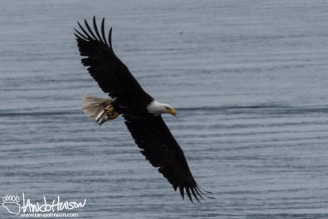 Bald Eagle, Hoonah, Alaska, Herring, Feeding, Southeast Alaska