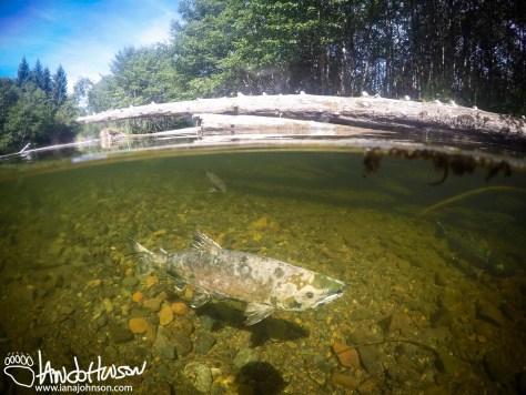 Chum Salmon, Dog Salmon, Hoonah, Alaska, Spasski River, Underwater