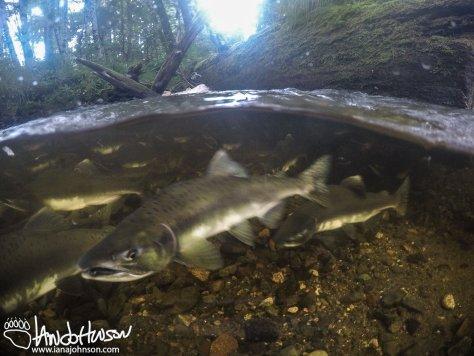 Salmon, Alaska, Pink Salmon, Underwater