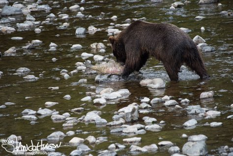 Bear, Coastal Brown Bear, Hoonah, Alaska, Game Creek