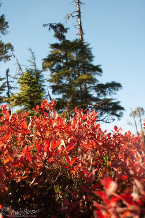 Muskeg, Bluberry, Red, Autumn, Colors, Foliage