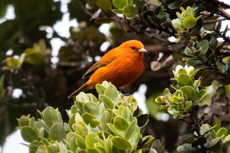 Akepa, Hakalau Forest, Hawaii