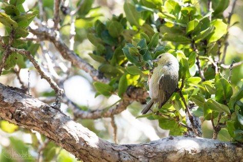 Anianiau, Kokee State Park, Kauai