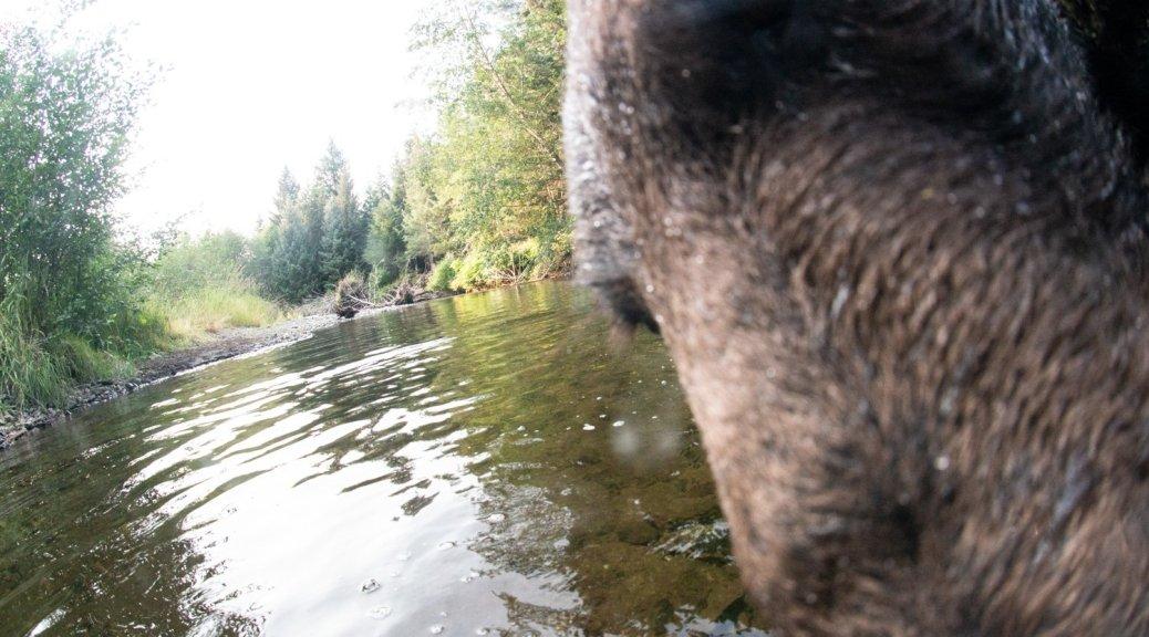 Brown Bear, Camera Trap, Alaska