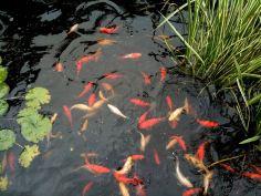 july-3-goldfish