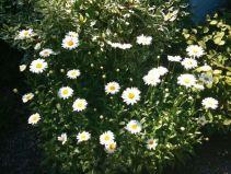 july-9-daisies