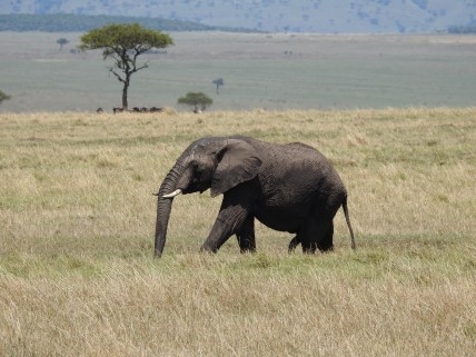 Our first Elephant, in Kenya