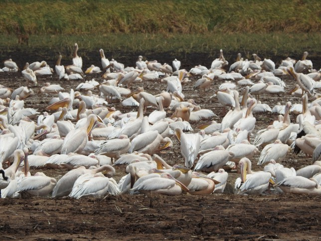 Pelicans at LakeManyara