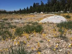 Hundreds of thousands of these tiny yellow flowers made for a beautiful spread of color through the rocky fields here.