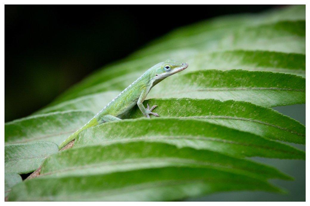 Eden Lizard