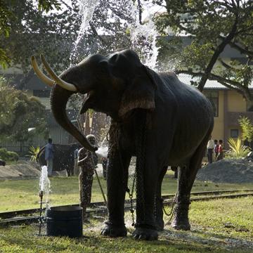 Pera Hera Tusker Taking a Bath in Viramahadevi Park,Colombo