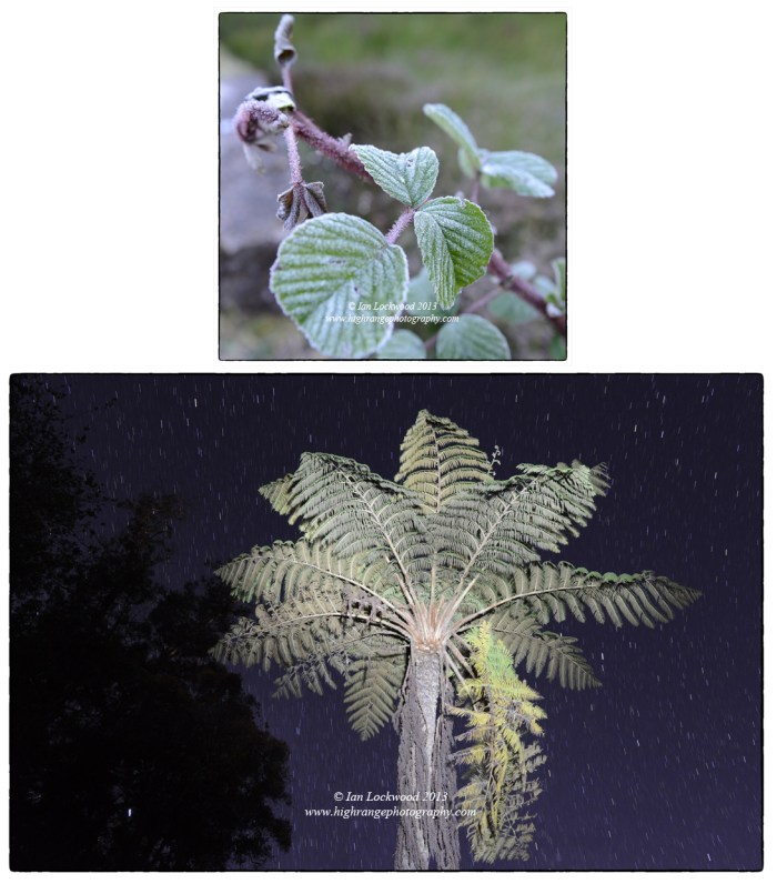 Scenes from a frosty winter in the Palani Hills. Rubus (raspberry) with frost and Cyathea sp. tree fern,