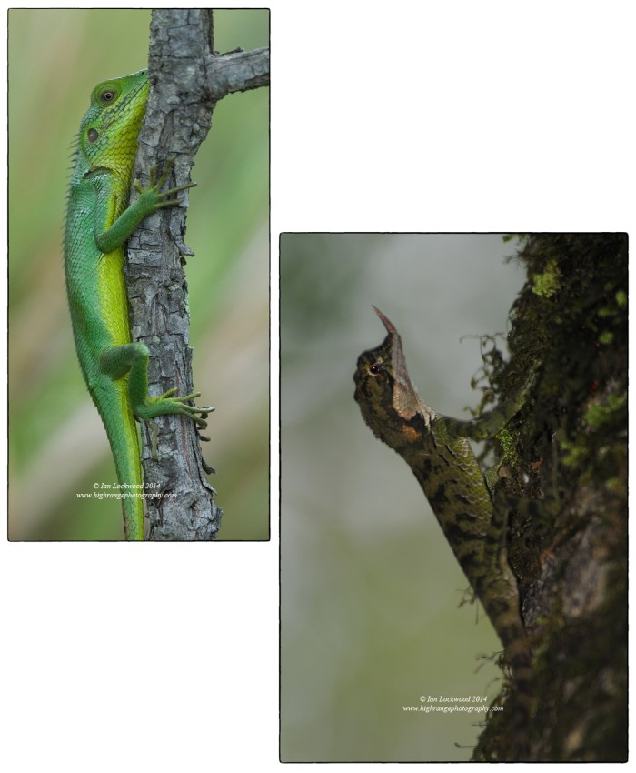 Left: Calotes nilgilabris on a Rhododendron arboreum tree in open grasslands on the Kirigalpotha trail. Right: Rhino horned lizard (Cerathopora stoddartii) found in HPNP but photographed in Hakgala sanctuary.
