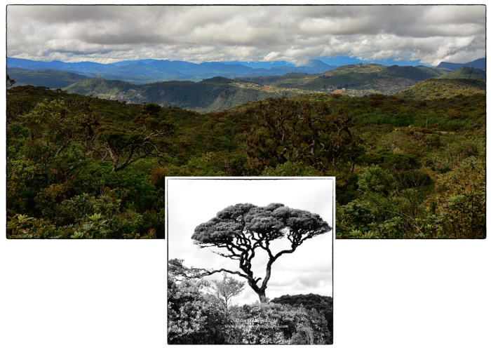 Cloud forest on Pidurutalagala: An appreciation.