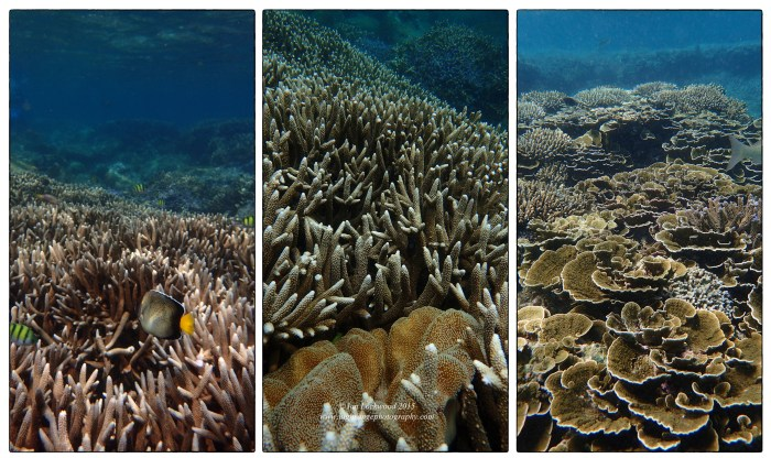 Underwater snapshots of branch and soft coral in waters near Pigeon Island.