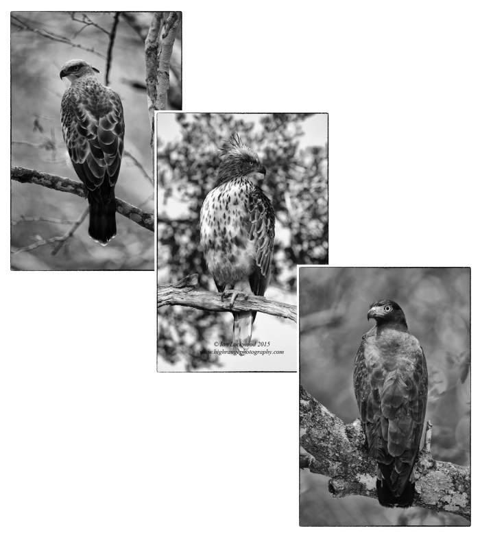 Forest raptors of Wilpattu: Crested Hawk-Eagle (Nisaetus cirrhatus) in first two images and Crested Serpent Eagle (Spilornis cheela) all photographed on the forest road into Wiplattu's core area.