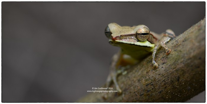 Montane Hourglass frog (Taruga eques) on the montane forest trail to Sri Pada.
