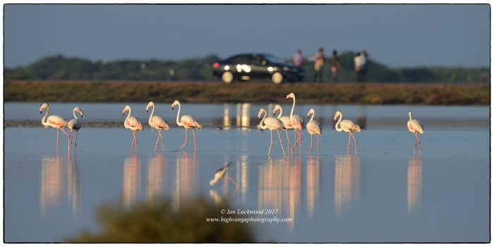 Greater flamingos (Phoenicopterus rosesus) and visitors. The larger numbers- in the thousands-were behind me in the glare of sunlight.