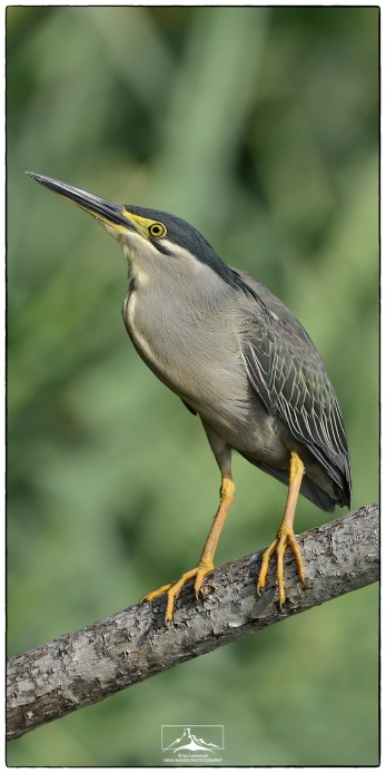 The Striated Heron (Butorides striata) photographed in March 2018.