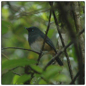 Nilgiri Blue Robin (Sholicola major). Cairn Hill, Nilgiri Hills June 2006.