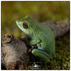 Shrub frog near Kolukkumalai (June 2018)